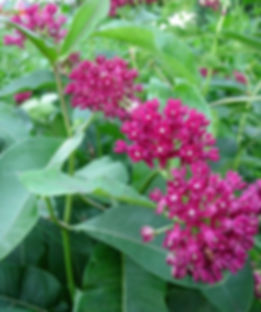 asclepias-purpurascens-purple-milkweed_m