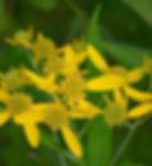 actinomeris-alternifolia-wingstem_flower