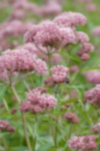 asclepias-incarnata-rose-milkweed.jpg