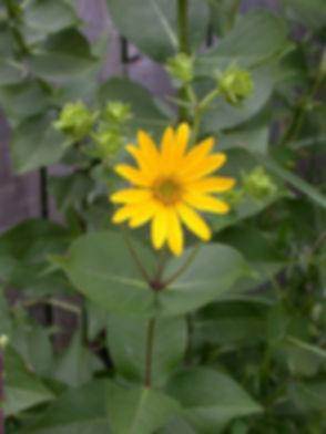 silphium-integrifolium-rosin-weed_main_5