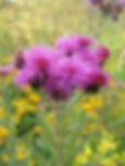 vernonia-missurica-missouri-ironweed_mai