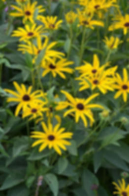 rudbeckia-subtomentosa-sweet-black-eyed-