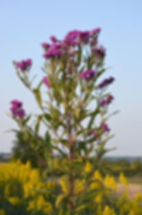 Vernonia-altissima-Tall-Ironweed_2_467x7