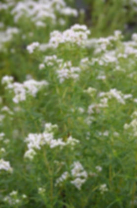 pycnanthemum-virginianum-mountain-mint_m
