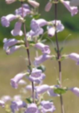 penstemon-grandiflorus-large-flowered-beardtongue_main_468x705_edited.jpg