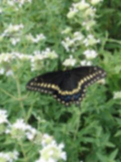 pycnanthemum-tenuifolium-slender-mountai