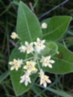oval leaf milkweed asclepias ovalifolia