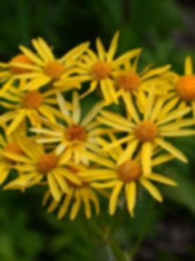 senecio-plattensis-prairie-ragwort-main_