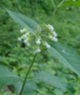 asclepias-exaltata-poke-milkweed_main_46