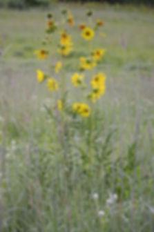 silphium-laciniatum-compass-plant_main_4
