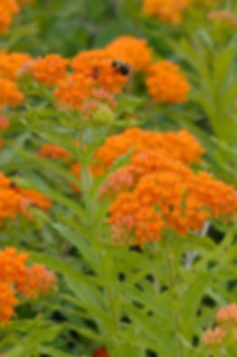Asclepias-tuberosa-Butterfly-Weed-Pollin