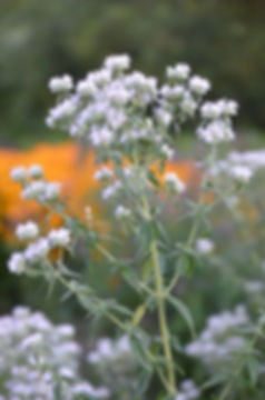 pycnanthemum-verticillatum-var.-pilosum-