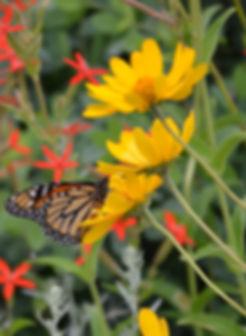 Heliopsis w_ monarch.jpg