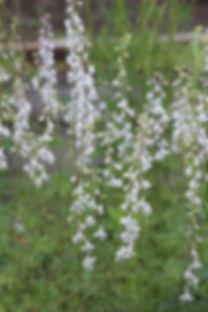 delphinium-virescens-prairie-larkspur.jp