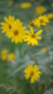 Helianthus-divaricatus-Woodland-Sunflower_main_edited.jpg