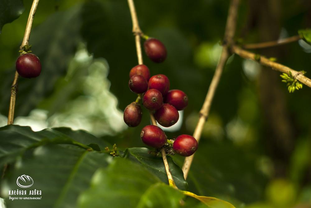 Кофе это ягода или все же боб?