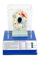 KVD Technologies Life Science Exhibits Animal Cell Model
