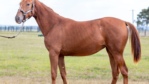 Lot 207 – USED TO ME FRA x AMARULA NZ Filly