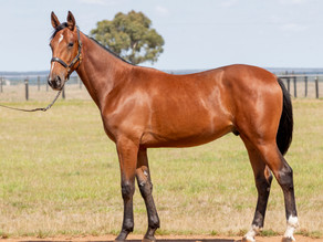 Lot 32 –  DREAM VACATION x JUSTINES AMORE NZ Colt