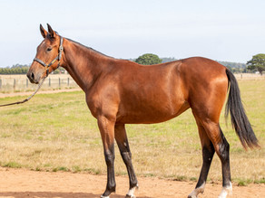 Lot 140 – ORLANDO VICI FRA x SCHLECK Filly