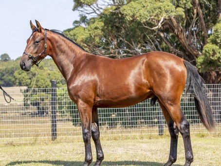LOT 174 – ORLANDO VICI FRA – TOP OF THE ANVILS NZ (Dream Vacation US) colt