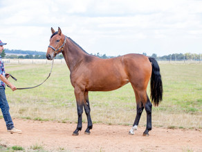 Lot 77 – LOVE YOU FRA x MISS MANITOBA Filly