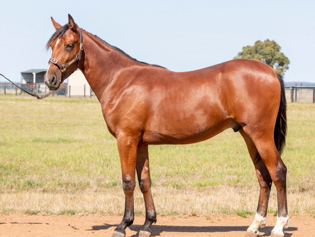 Lot 87 – USED TO ME FRA x MUSCLES N BLUES USA Colt