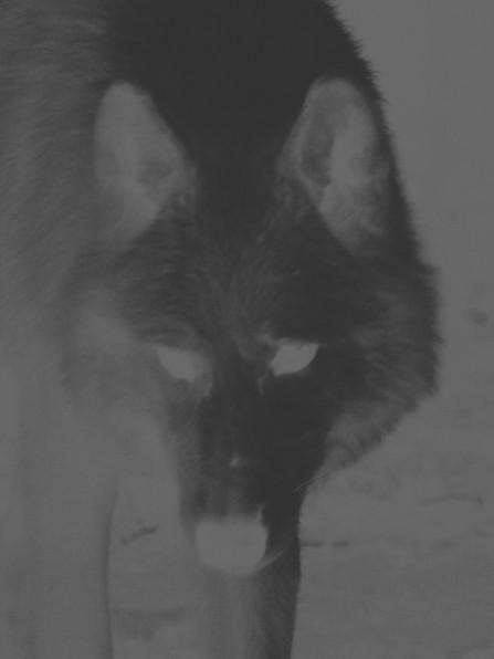 wolf (1 van 1).jpg