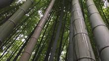 Bamboo Forest @ Osaka
