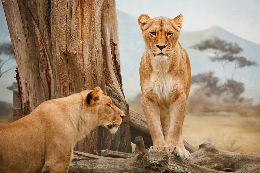 2-lion-on-grass-field-during-daytime-411
