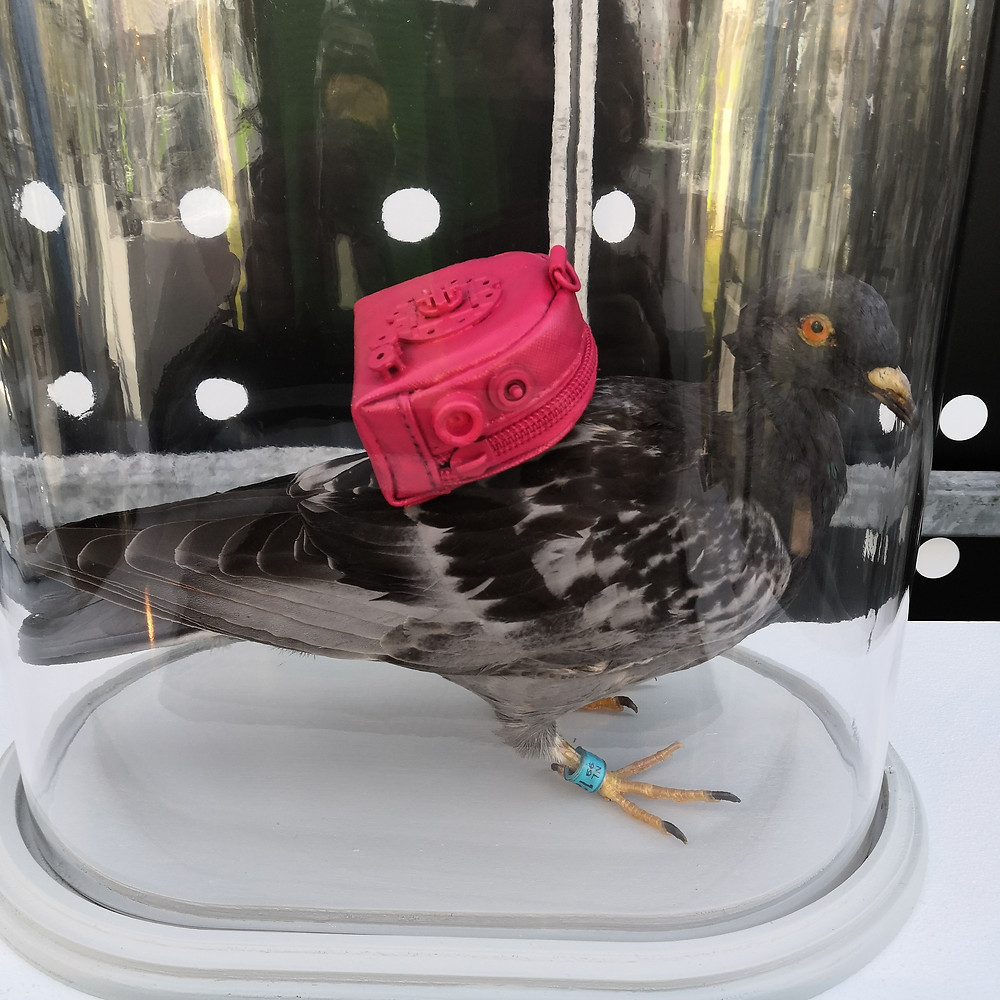 A taxidermied pigeon with a pink backpack, under a glass dome