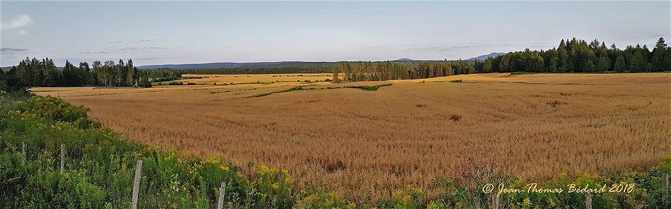 Les blés sont mûrs... Chemin Sainte-Anne. 2018