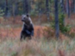 Wild Brown Bear Cub - Kuhmo, Finland