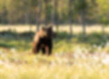 One night photographing wild brown bears with Wildlife Safaris Finland
