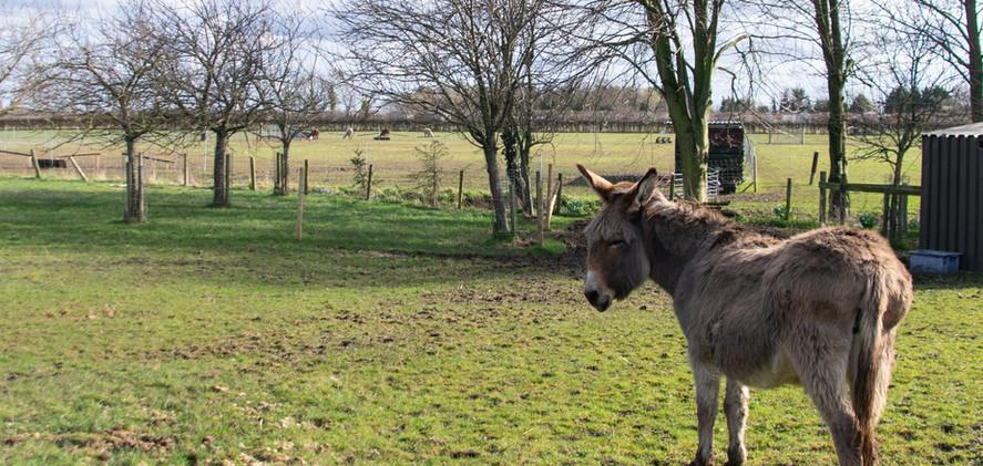 Susie the donkey