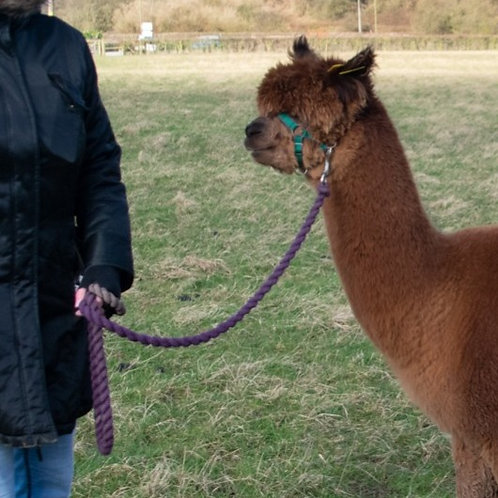 Alpaca Meet and Greet Gift Voucher age 3+