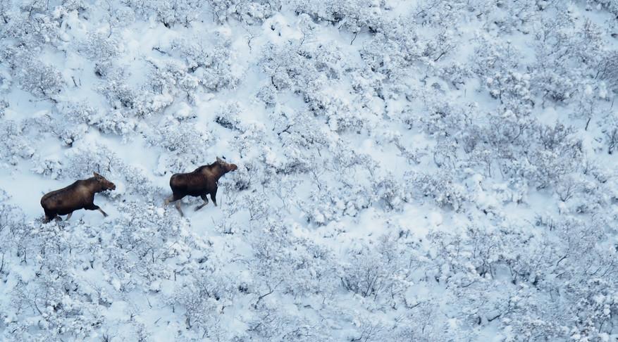 aerial moose