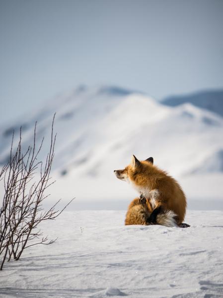 Red fox in sunlight