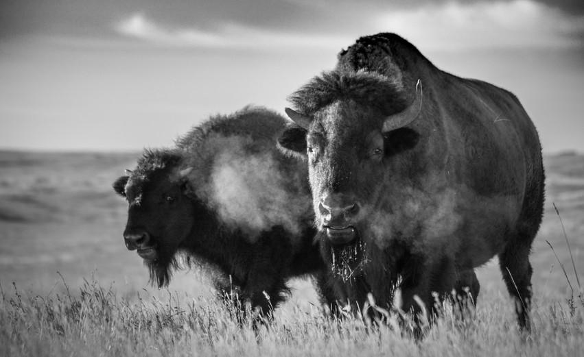 Plains bison B&W