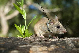 mouse with collar (4).jpg