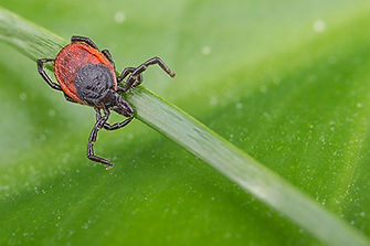 veterinary-deer-tick-grass-stem-ixodes-A