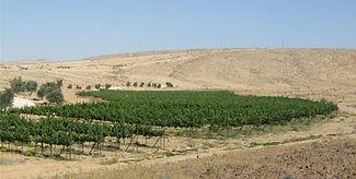 Grape in a desert Israel
