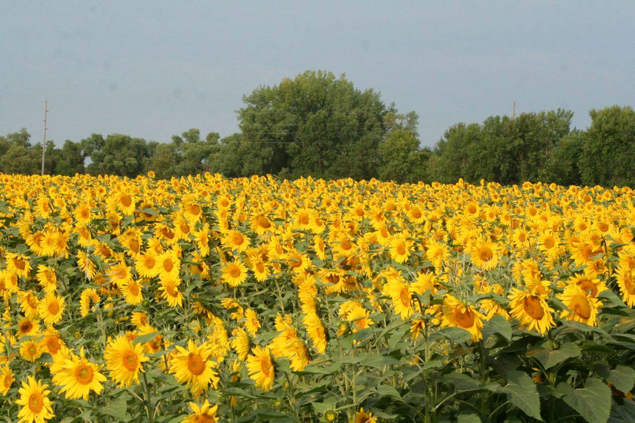 Sunflowers in Ada, MN
