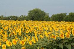 Sunflowers in Ada, MN