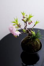 阿部ちゃんの桜.jpg