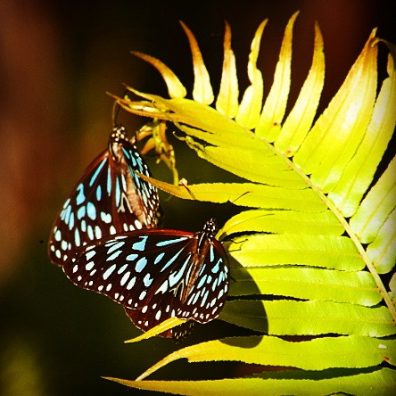 Two blue tiger butterflies on a fern leaf.