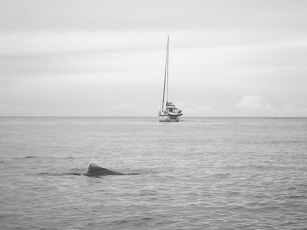 black and white image with the dorsal fin of a dolphin in the foreground and a sailing vessel in the background. Flat, calm water