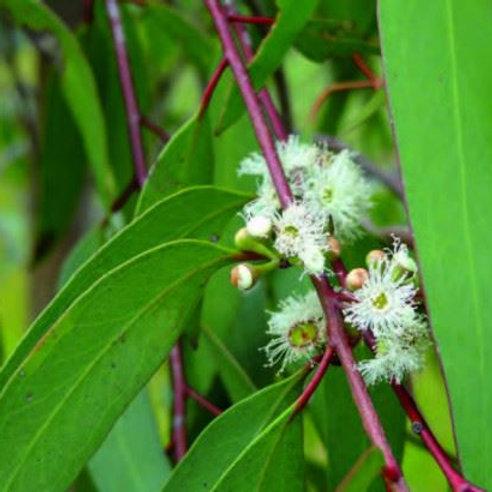 Huile Essentielle d' Eucalyptus Radiata BIO