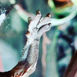 crested gecko hand.jpg