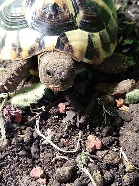 hermanns tortoise.jpg